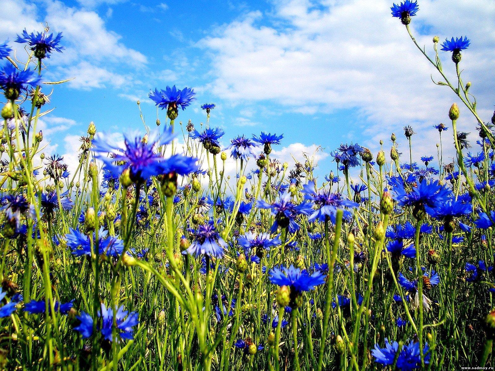 лето небо цветы