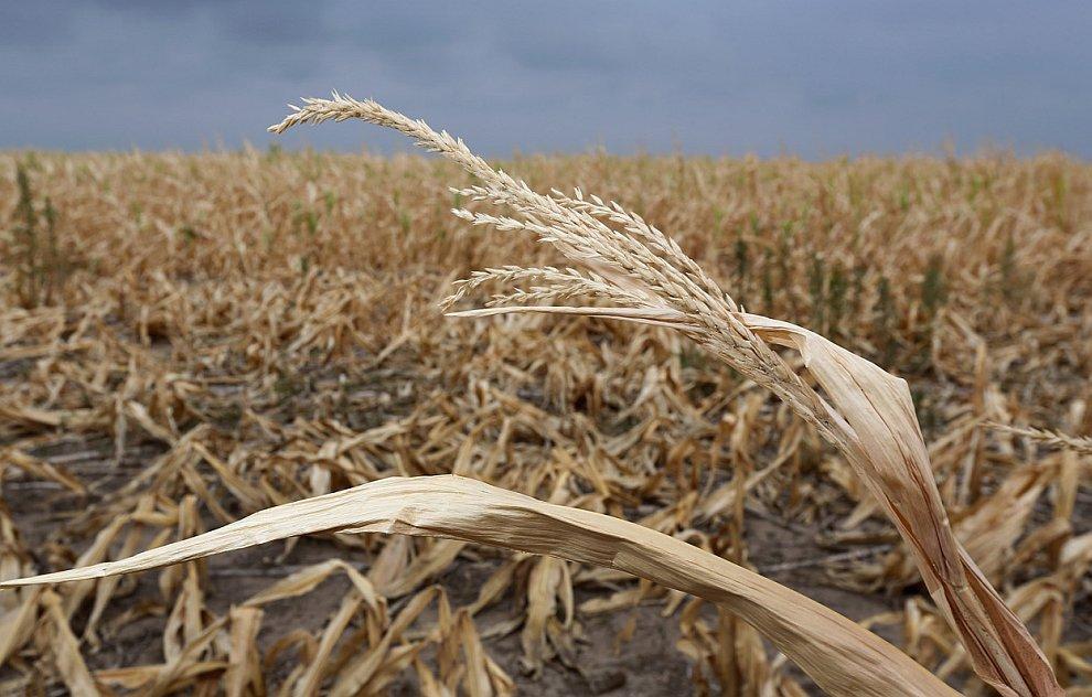 стебли кукурузы