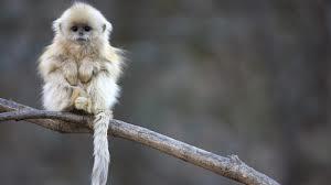 Белая обезьяна