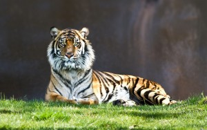 Считалка С тигром.